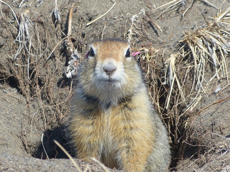 An Arctic ground squirrel in her burrow. At the East Atigun field site near Toolik Field Station, Alaska.