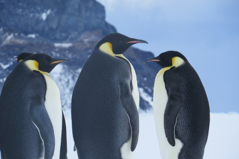 A group of Emperor penguins on the sea ice of the Ross Sea, Antarctica.