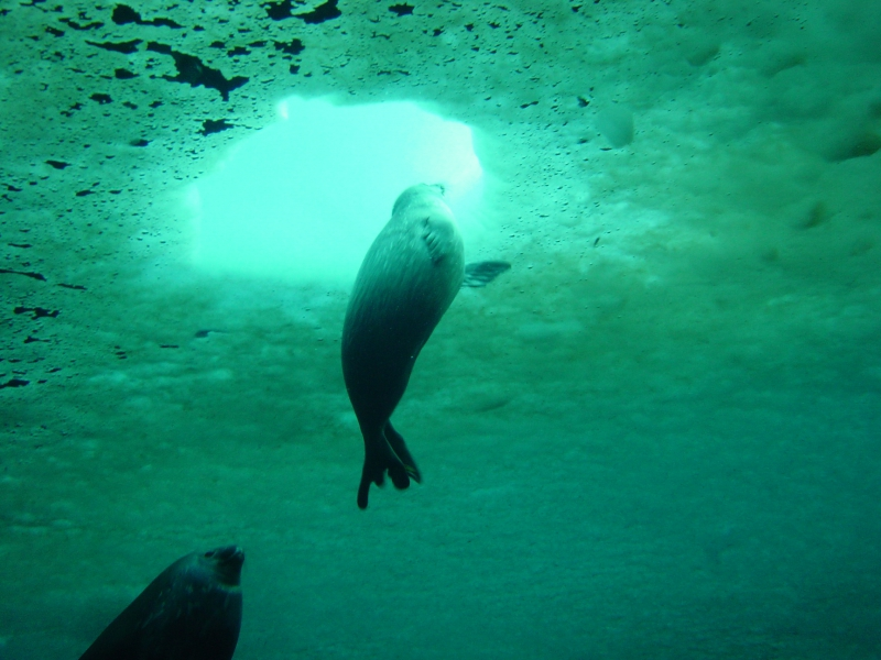 A seal pup goes up to the dive hole for air. Turtle Rock, Antarctica.Credit to read: Photo by Robin Ellwood (PolarTREC 2008), Courtesy of ARCUS