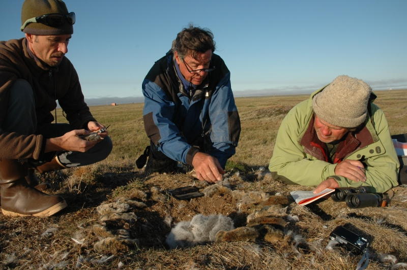 Rob Eubanks, Steve, and Denver Holt are evaluating the lemmings. Lemming data is an important tool that Denver uses to evaluate the mating pairs of owls. How many lemmings are around the nest is an one of the important facts that are recorded. Barrow, Alaska.Credit to read: Photo by Elizabeth Eubanks (PolarTREC 2008), Courtesy of ARCUS