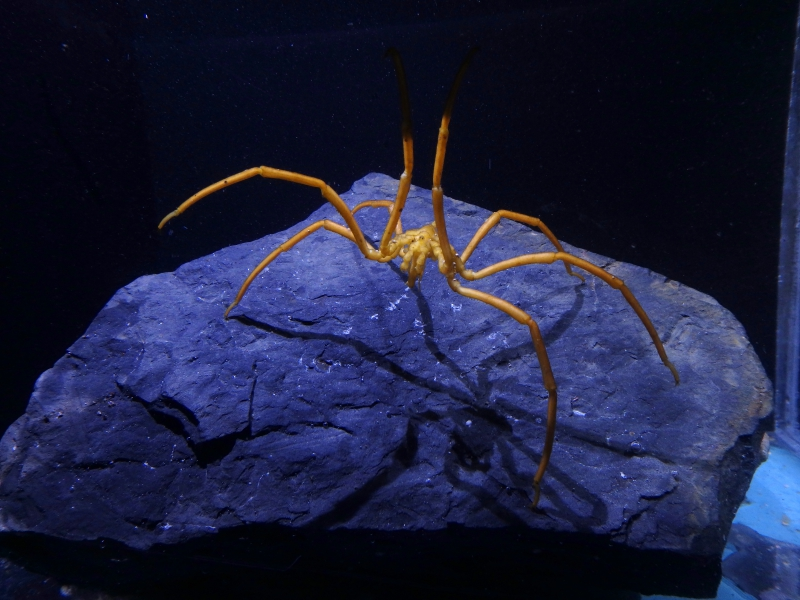 Ammothea is a genus of sea spider that the Marine Ectotherm Research Team is studying. Crary Lab, McMurdo Station, Antarctica.