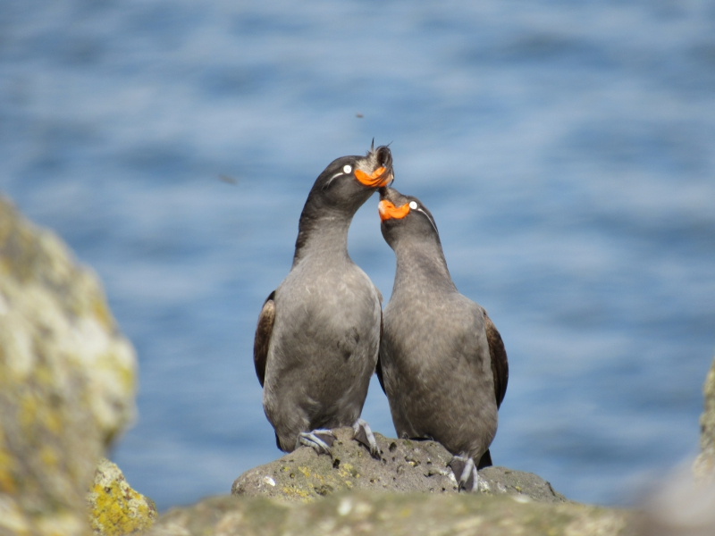 A pair of crested auklets at Cape Kitnik, St. Lawrence Island, Alaska.
