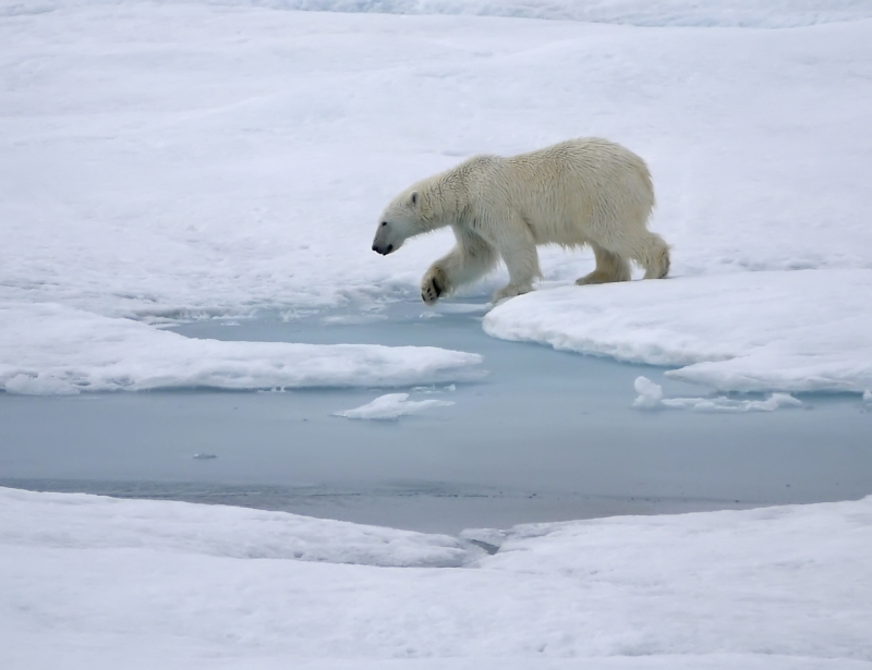 """Bill Schmoker: """"While stopped for a CTD cast a polar bear approached from far out and walked along the Healy about 100 meters away before swimming across an open lead and continuing to patrol into the distance."""" Aboard the USCGC Healy icebreaker in the Beaufort Sea.Approx. Coordinates: 72.4931, -140.8672"""