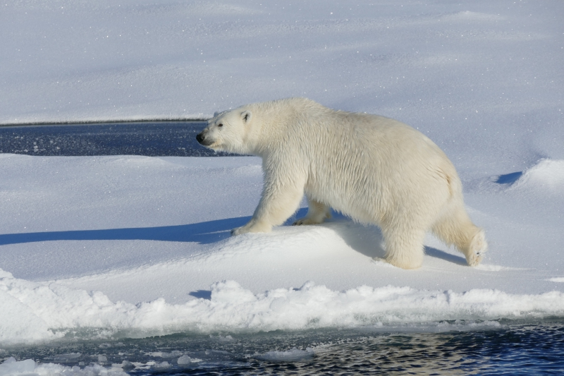 "Bill Schmoker: ""We had an amazing up-close encounter with this polar bear yesterday afternoon when it investigated the big red ship that was interloping in its world."" Aboard the USCGC Healy at the Mendelev Rise in the Arctic Ocean. 79.99°, -174.97°."