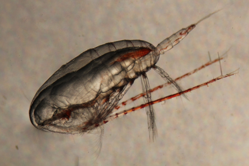 Calanus glacialis, also known as a copepod, caught in the bongo nets. Aboard the R/V Sikuliaq in the Beaufort Sea.