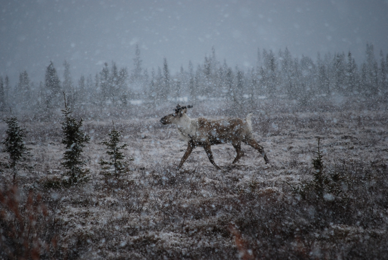 "John Wood: ""We came across four caribou during a light snow."" Healy, Alaska."