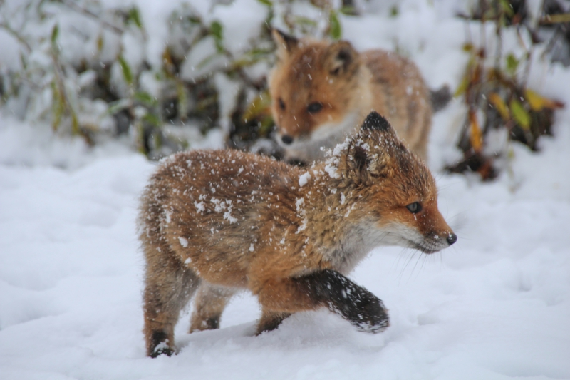 A baby red fox kit runs in the snow outside of Toolik Field Station, Alaska.