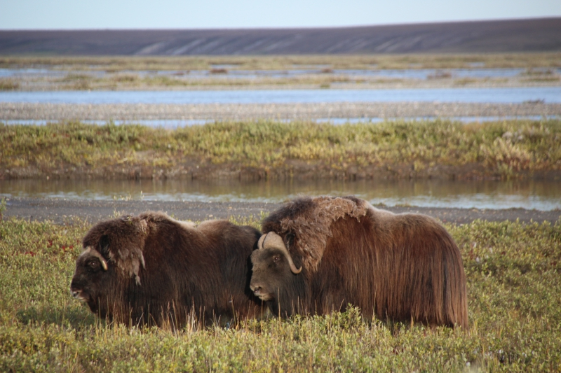 Muskoxen have long guard hairs to keep them warm. Mile 398 on the Dalton Highway, Alaska.